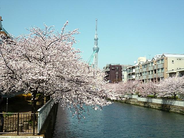 菊川橋から見る桜,化粧箱